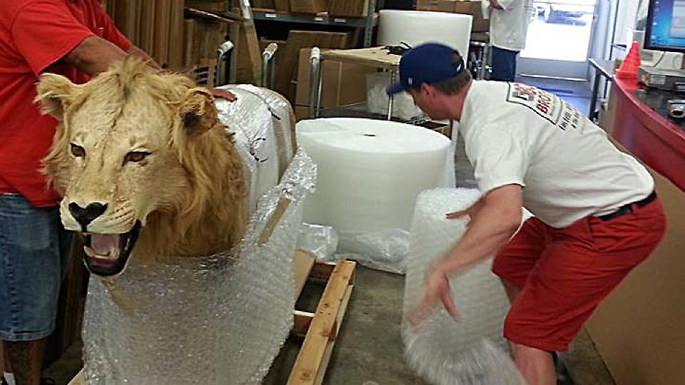 "<a href=""/image/image-galleries/packing-and-crating-lion/packing-lion-2"">Packing a Lion 2</a>"