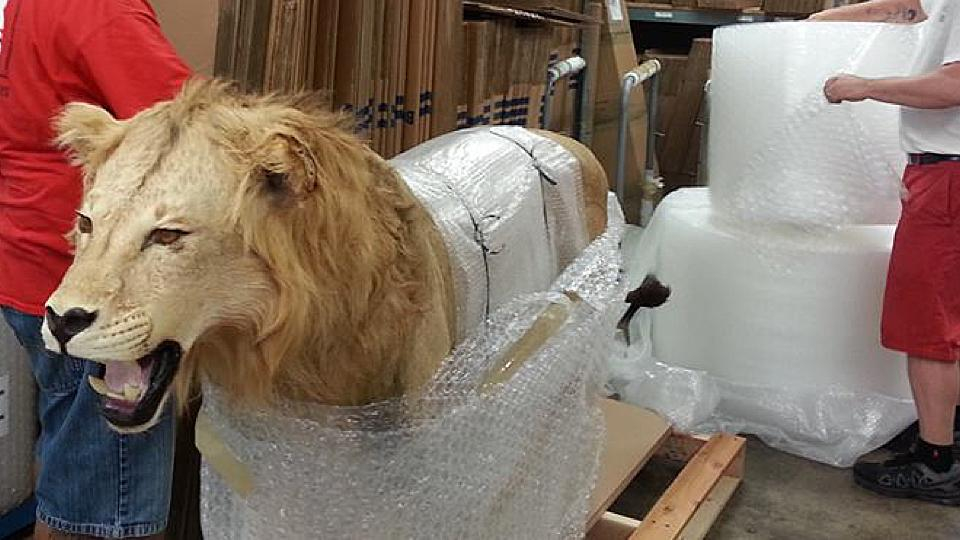 "<a href=""/image/image-galleries/packing-and-crating-lion/packing-lion"">Packing a Lion</a>"